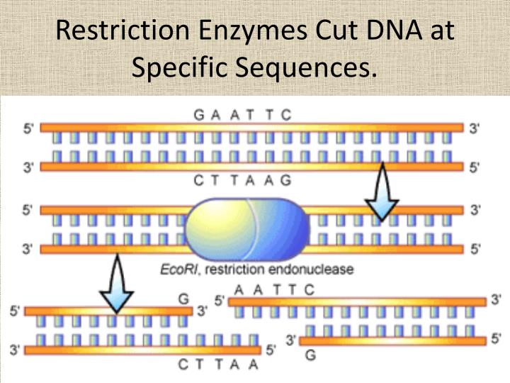 Restriction enzymes cut dna at specific sequences