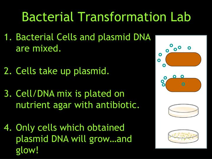 bacteria lab essay Lab 13: prokaryotic cells biology 171l 2 antibiotics are chemicals that prevent cell wall formation in bacteria when bacteria are exposed to antibiotics they cannot multiply and.