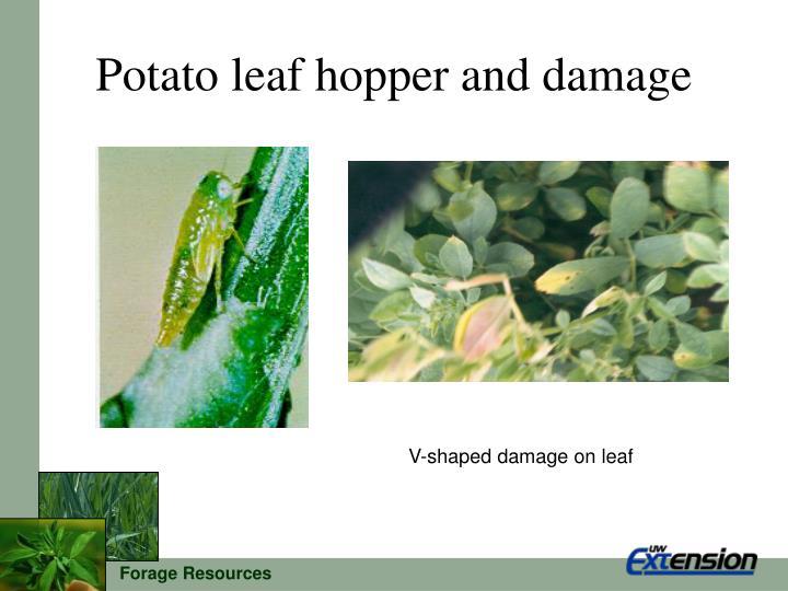 Potato leaf hopper and damage
