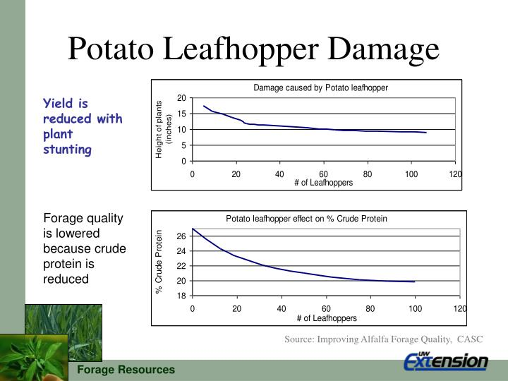 Potato Leafhopper Damage