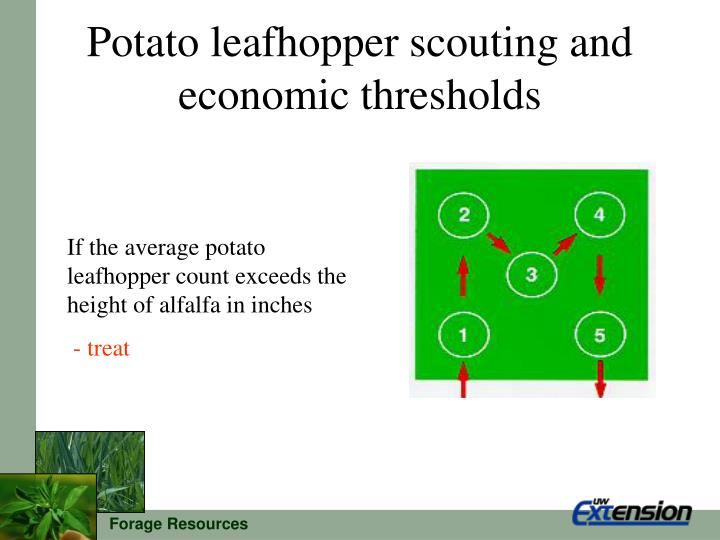 Potato leafhopper scouting and economic thresholds