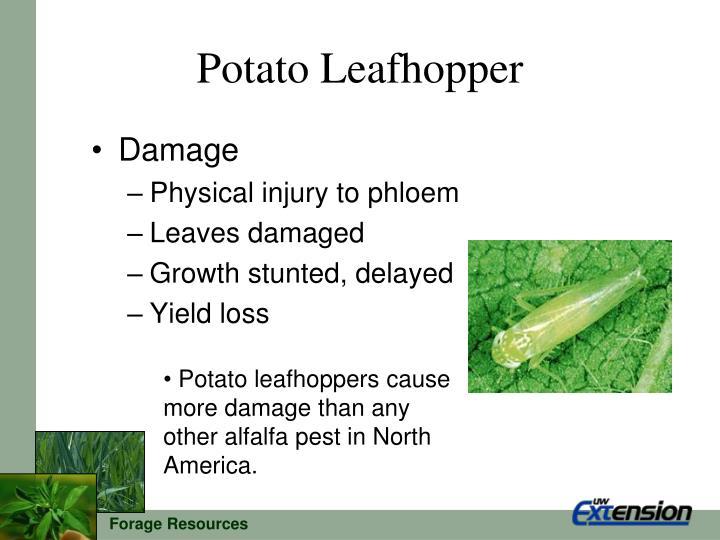Potato leafhopper1