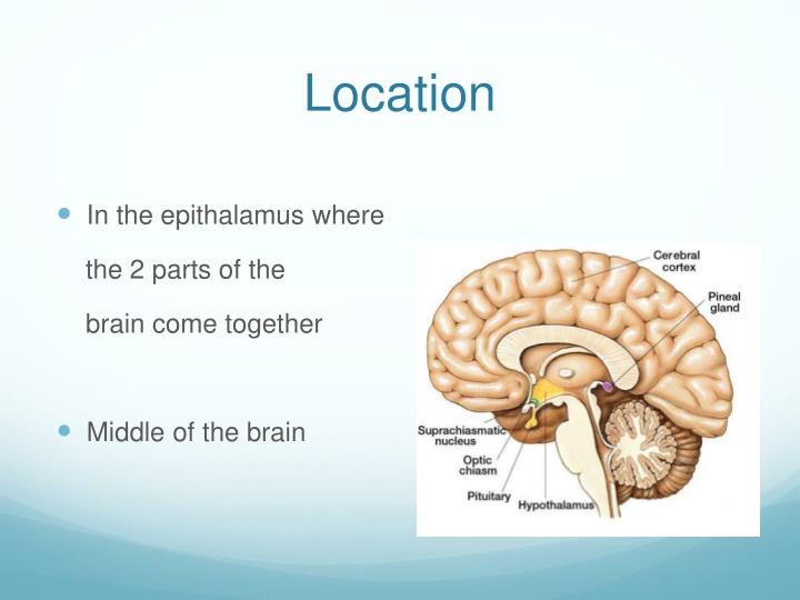 PPT - Pineal Gland PowerPoint Presentation - ID:2618609