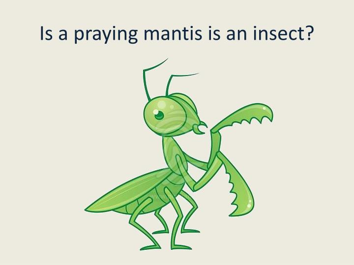 Is a praying mantis is an insect?