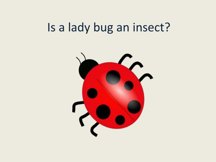 Is a lady bug an insect?