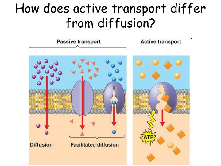 How does active transport differ from diffusion
