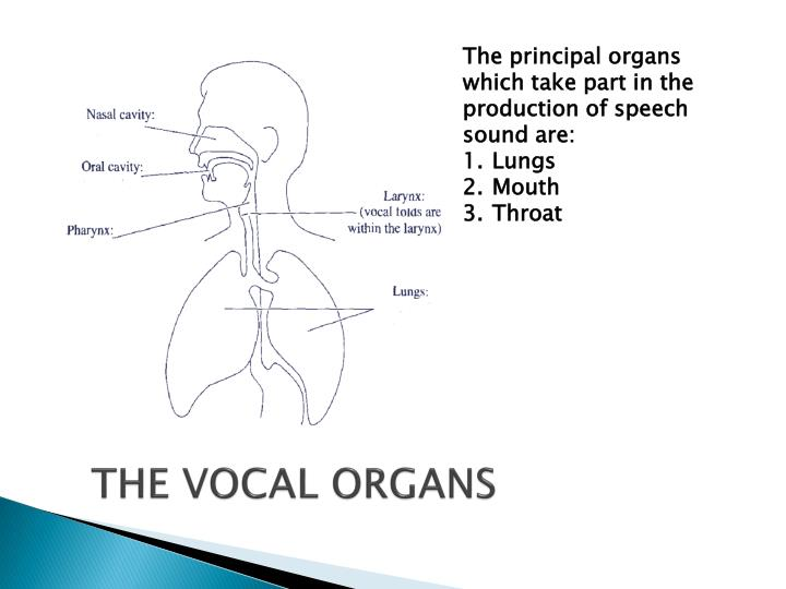 PPT - Anatomy and Physiology of Speech PowerPoint Presentation - ID ...