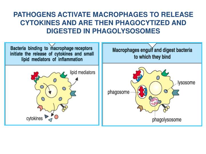 PATHOGENS ACTIVATE MACROPHAGES TO RELEASE CYTOKINES AND ARE THEN PHAGOCYTIZED AND DIGESTED IN PHAGOLYSOSOMES