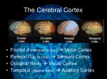 the cerebral cortex3