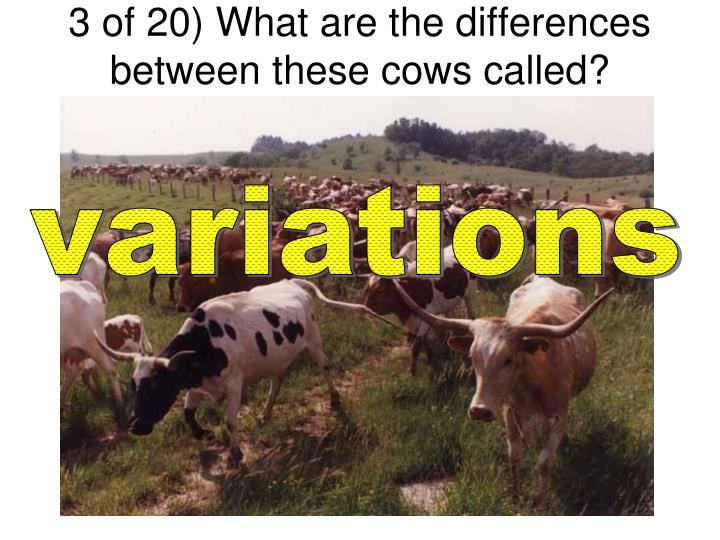 3 of 20) What are the differences between these cows called?