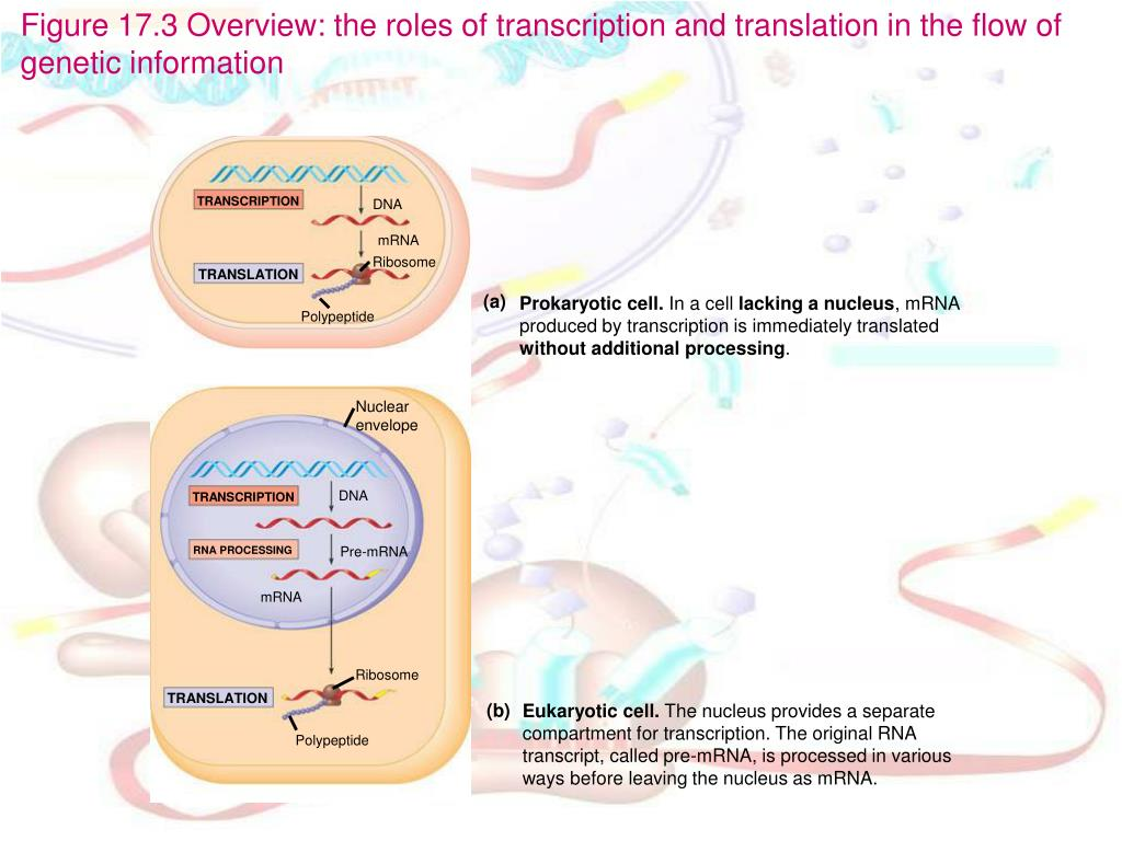 PPT - Chapter 17: From Gene to Protein PowerPoint ...
