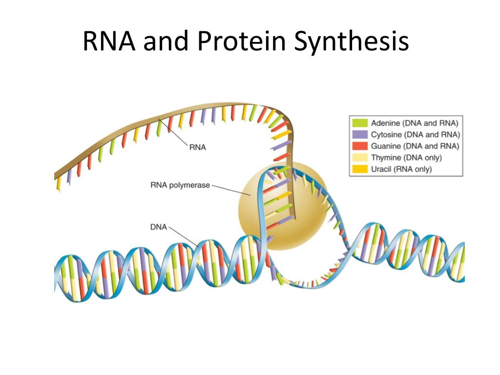 PPT - RNA and Protein Synthesis PowerPoint Presentation - ID
