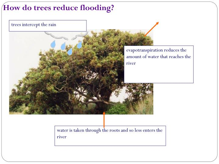 How do trees reduce flooding?
