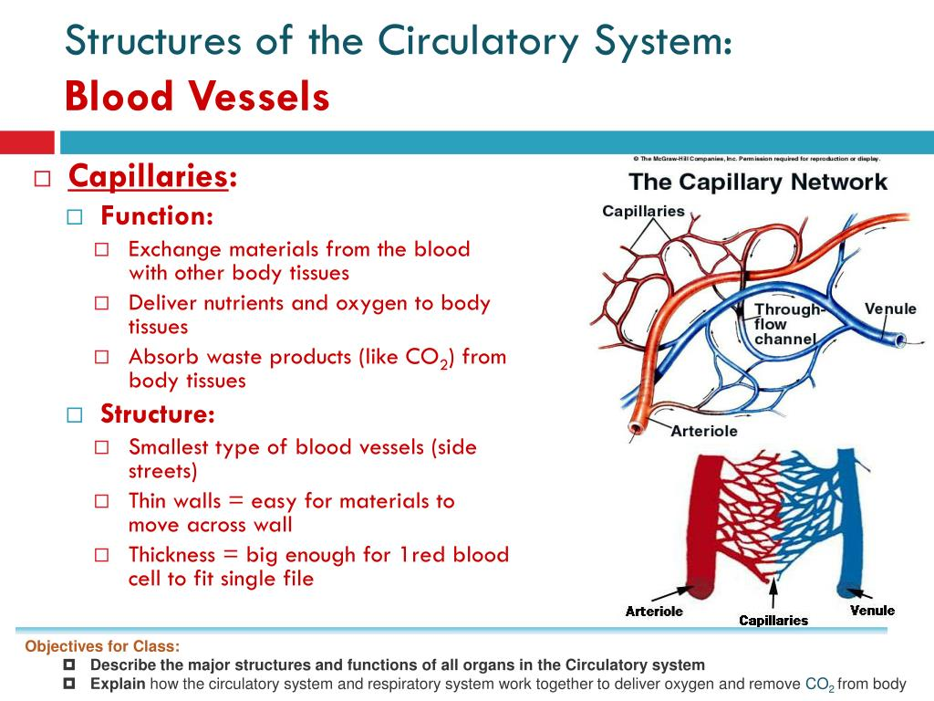 PPT - Homework: Review Heart Dissection Pre-Lab and ...