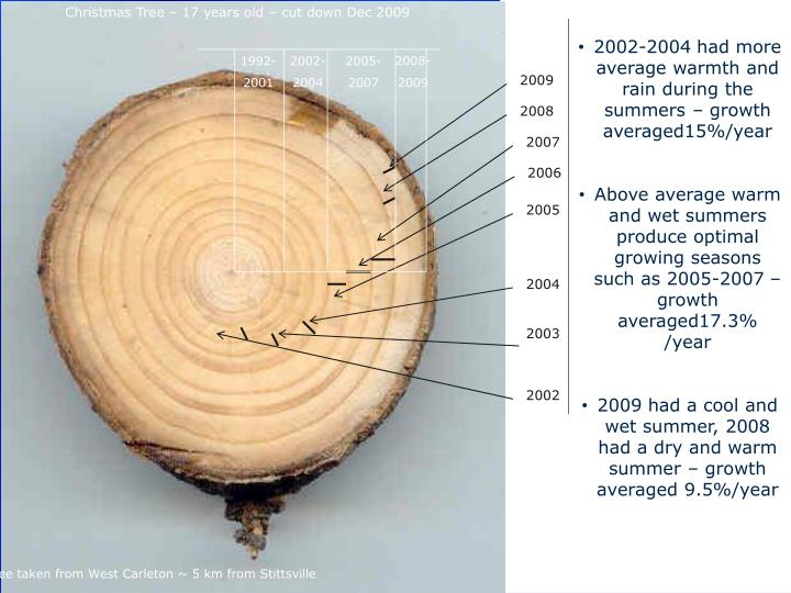 Christmas Tree – 17 years old – cut down Dec 2009