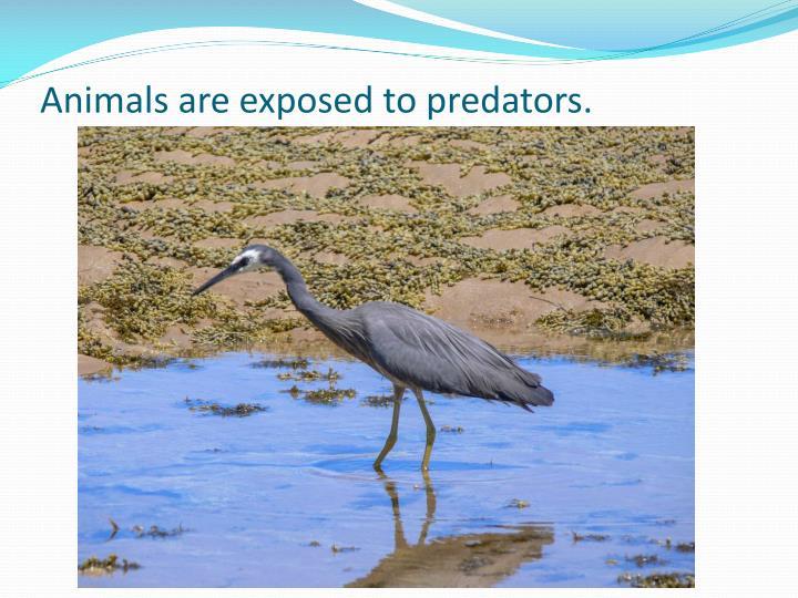 Animals are exposed to predators.