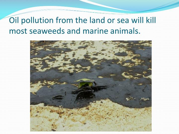 Oil pollution from the land or sea will kill most seaweeds and marine animals.