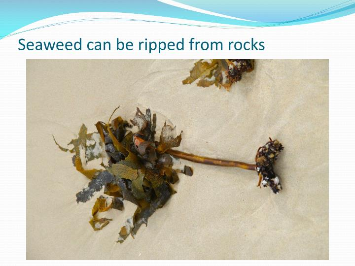 Seaweed can be ripped from