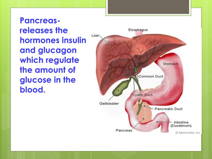 Pancreas- releases the hormones insulin and glucagon which regulate the amount of glucose in the blood.