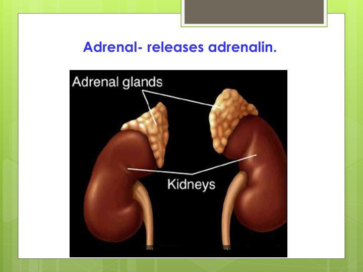 Adrenal- releases adrenalin.