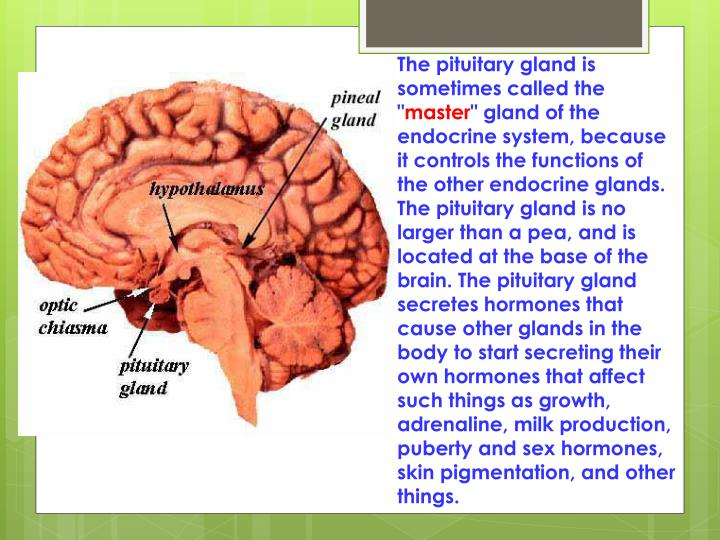"""The pituitary gland is sometimes called the """""""