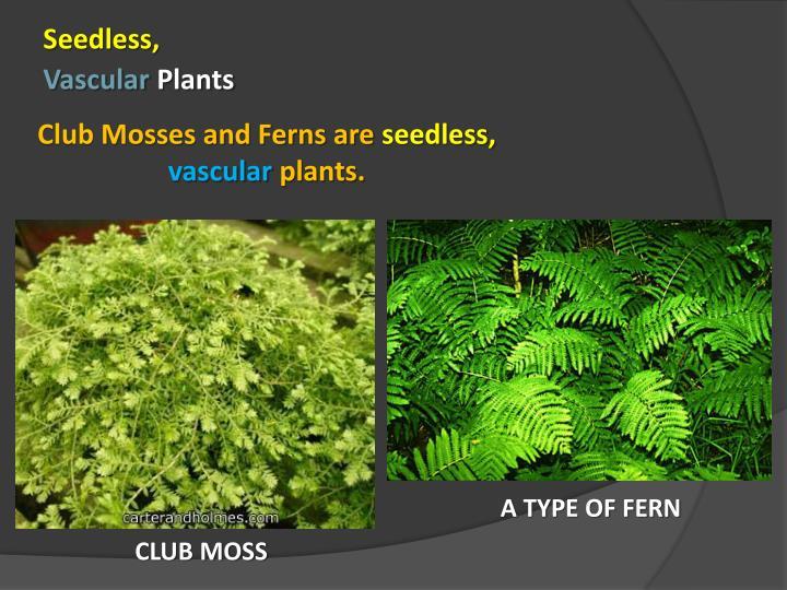 Seedless,