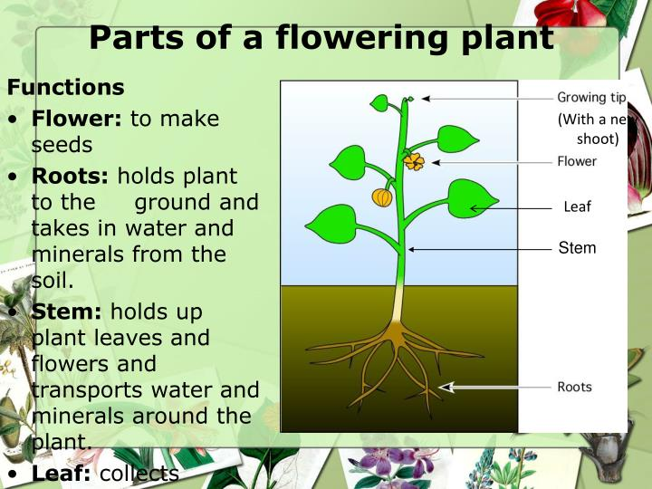 Parts of a flowering plant