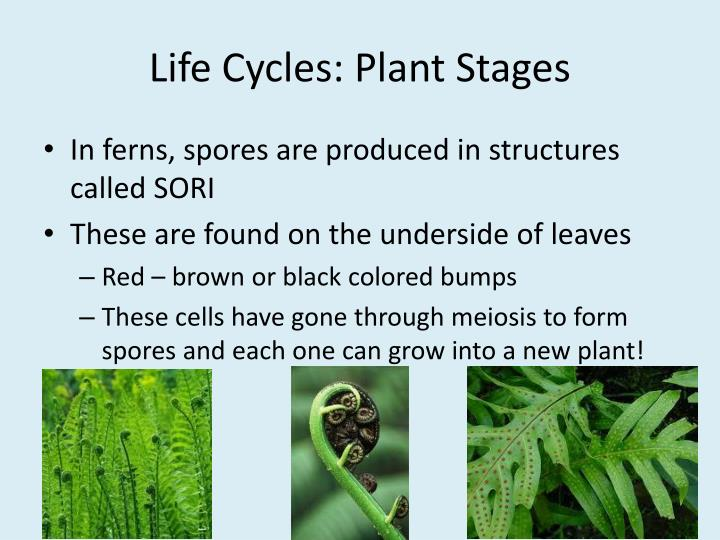 Life Cycles: Plant Stages