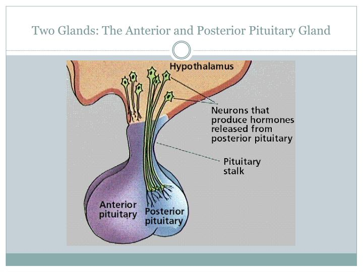 Ppt The Pituitary Gland Powerpoint Presentation Id2640829