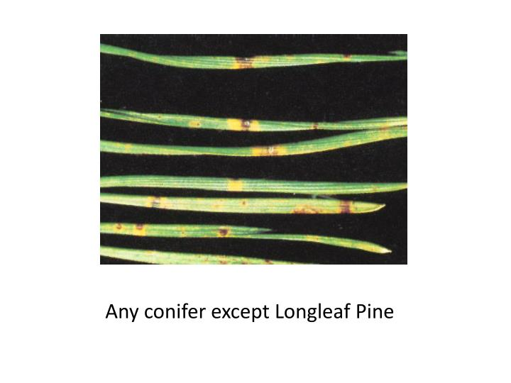 Any conifer except Longleaf Pine