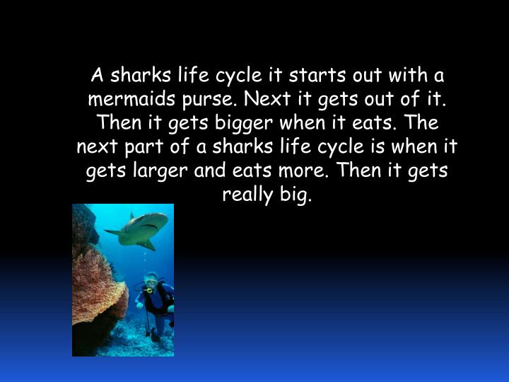A sharks life cycle it starts out with a mermaids purse. Next it gets out of it. Then it gets bigger when it eats. The next part of a sharks life cycle is when it gets larger and eats more. Then it gets really big.