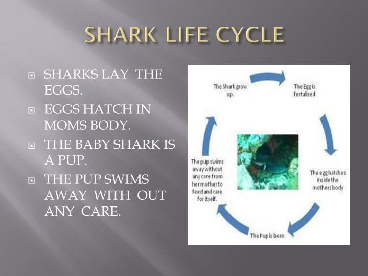Shark life cycle