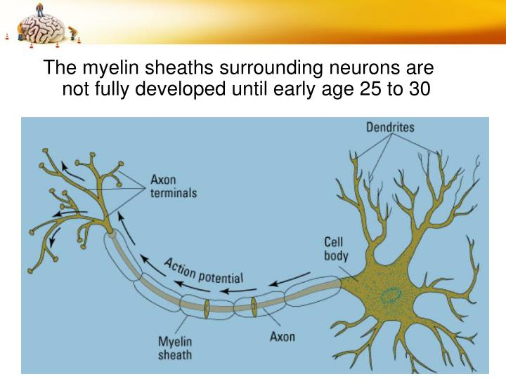 The myelin sheaths surrounding neurons are not fully developed until early age 25 to 30