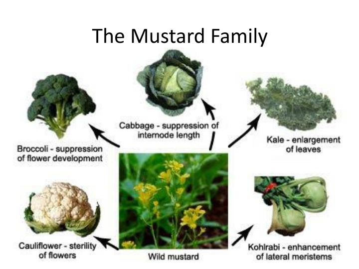 The Mustard Family