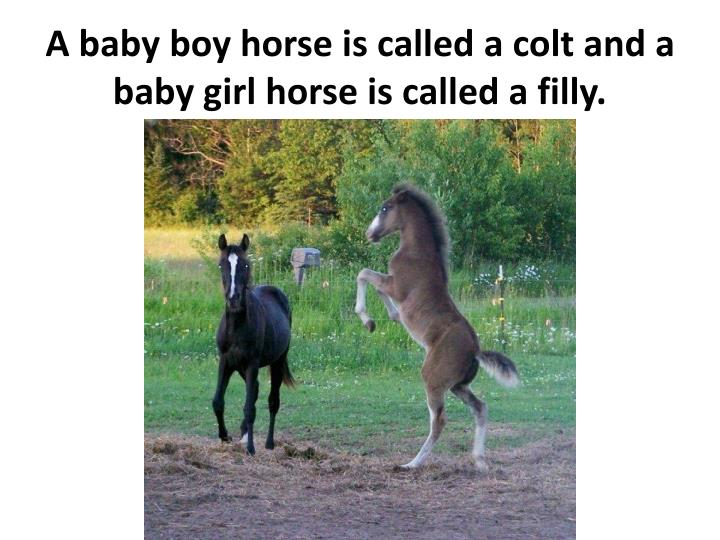 A baby boy horse is called a colt and a baby girl horse is called a filly.