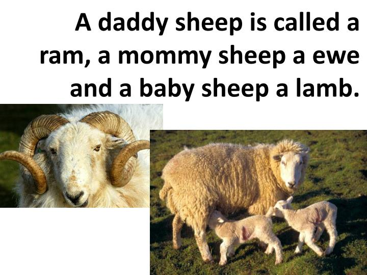 A daddy sheep is called a ram, a mommy sheep a ewe and a baby sheep a lamb.