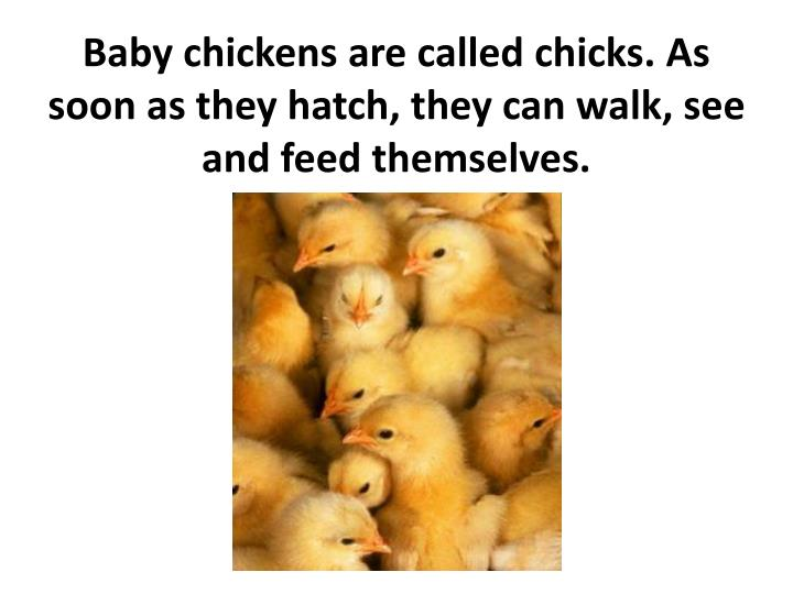 Baby chickens are called chicks. As soon as they hatch, they can walk, see and feed themselves.
