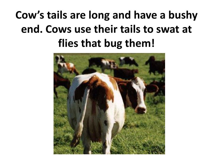 Cow's tails are long and have a bushy end. Cows use their tails to swat at flies that bug them!