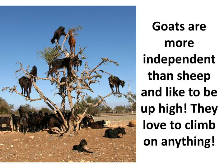 Goats are more independent than sheep and like to be up high! They love to climb on anything!