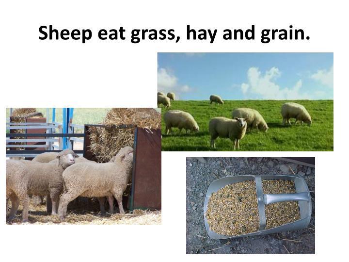 Sheep eat grass, hay and grain.