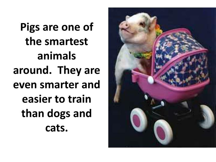 Pigs are one of the smartest animals around. They are even smarter and easier to train than dogs and cats.