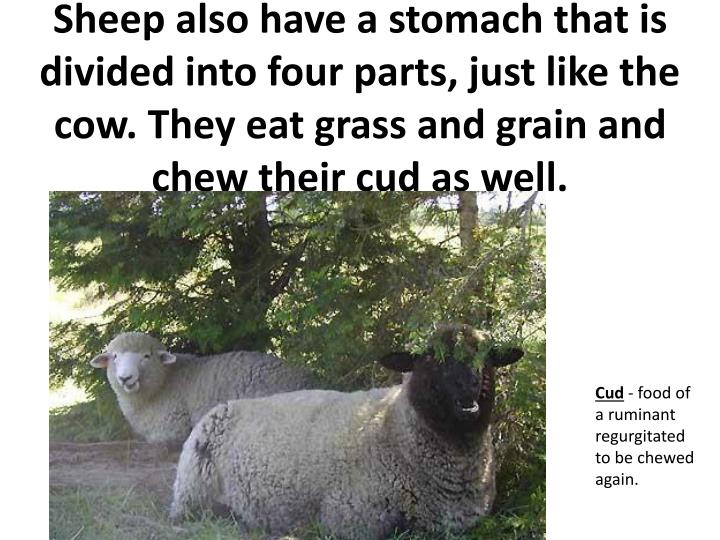 Sheep also have a stomach that is divided into four parts, just like the cow. They eat grass and grain and chew their cud as well.