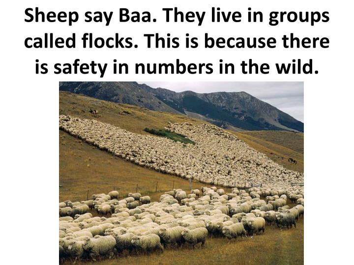 Sheep say Baa. They live in groups called flocks. This is because there is safety in numbers in the wild.