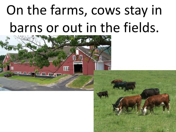 On the farms, cows stay in barns or out in the fields.