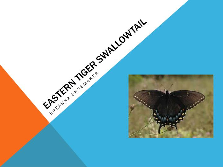 eastern tiger swallowtail n.