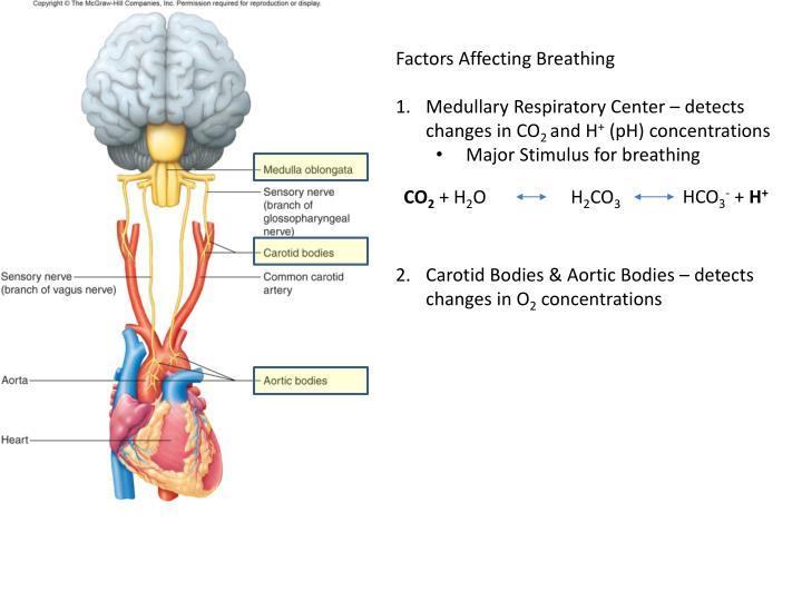 Factors Affecting Breathing