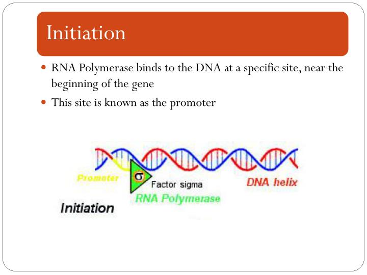 RNA Polymerase binds to the DNA at a specific site, near the beginning of the gene