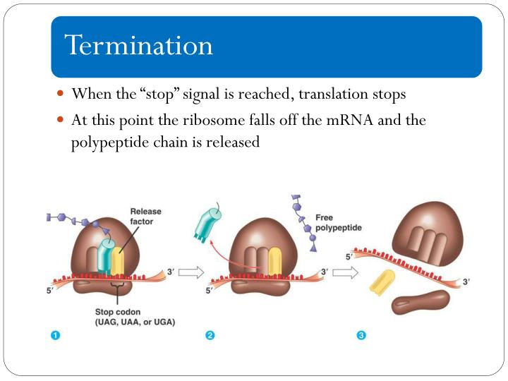 """When the """"stop"""" signal is reached, translation stops"""