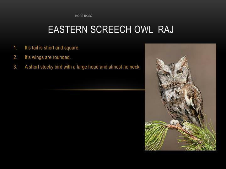 Eastern screech owl raj