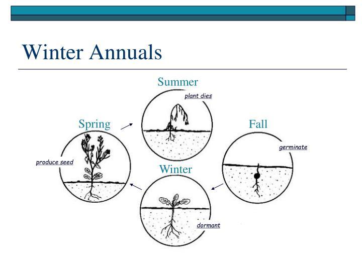 Winter Annuals